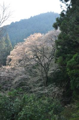 8源太桜12.04.08