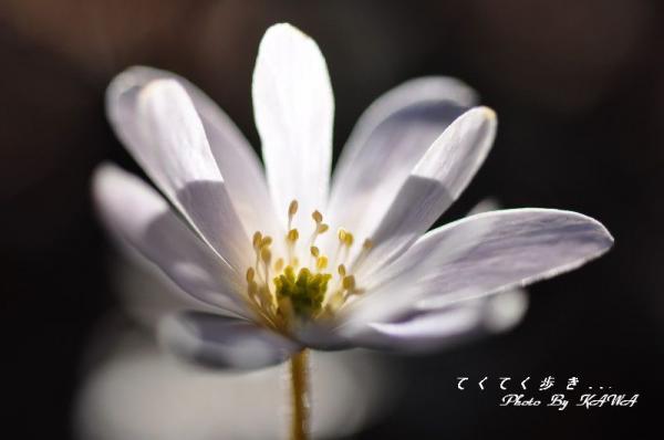 ユキワリイチゲ古岩屋2012.04.01
