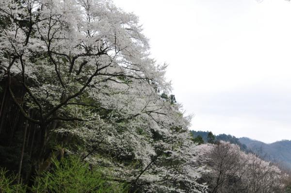 6源太桜12.04.15