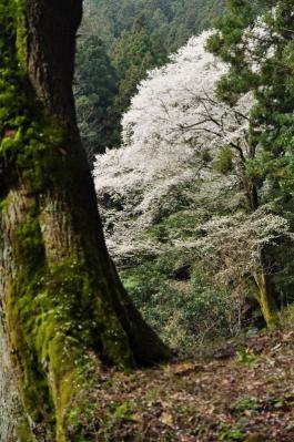 7源太桜12.04.15