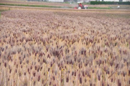 4麦畑12.05.24