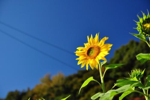 向日葵1 下小越