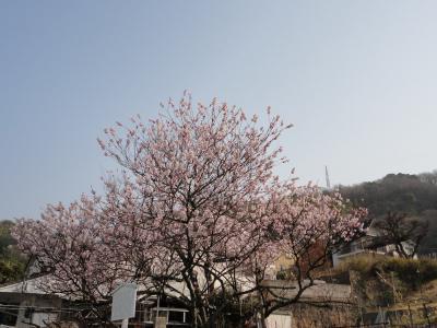 1十六日桜13.03.09