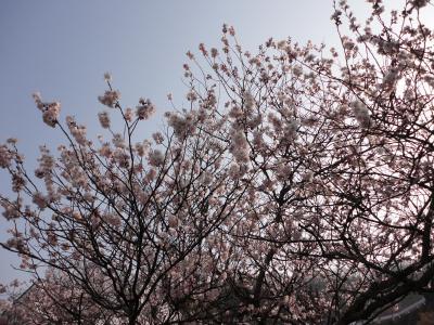 2十六日桜13.03.09