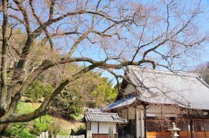5金龍桜13.03.11