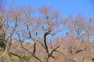 6金龍桜13.03.11