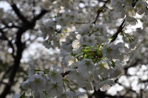 1うば桜13.03.19