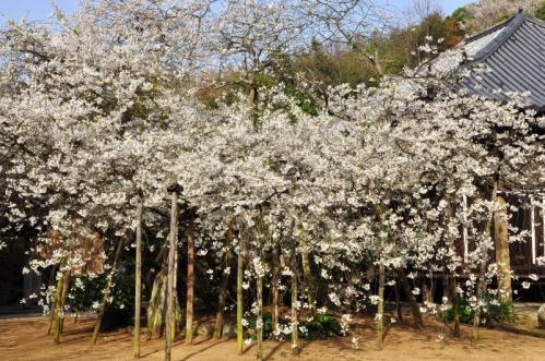 2うば桜13.03.19