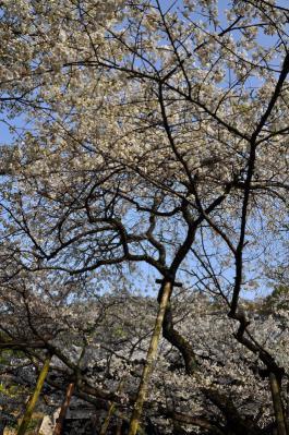 3うば桜13.03.19