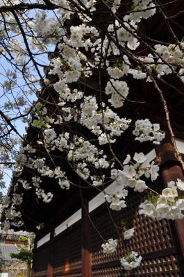 4うば桜13.03.19