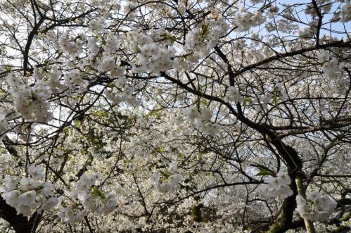 5うば桜13.03.19
