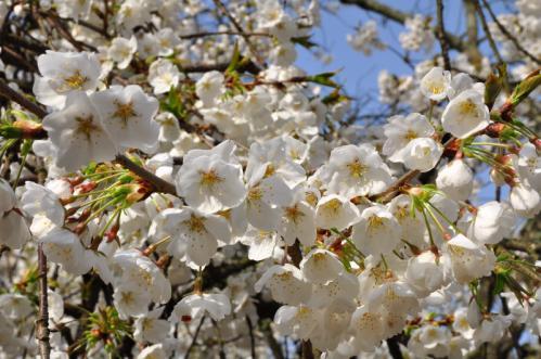 6うば桜13.03.19