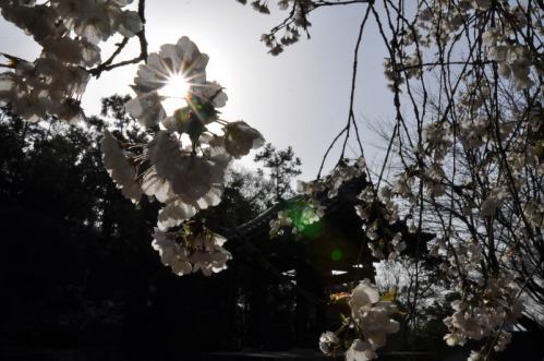 7うば桜13.03.19
