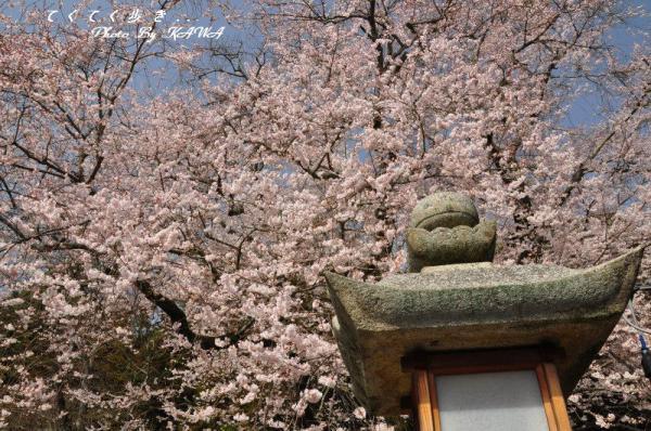 1金龍桜13.03.19