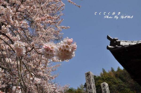 2金龍桜13.03.19