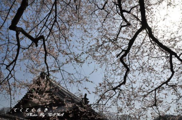 3金龍桜13.03.19