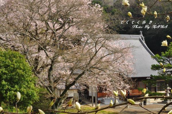 4金龍桜13.03.19