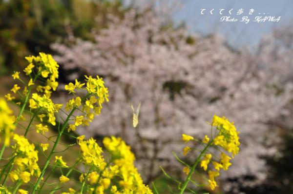 5金龍桜13.03.19