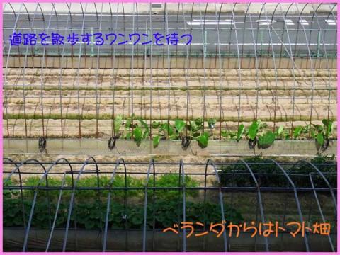0717トマト畑