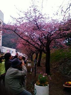 開花促進剤で咲いた河津桜…ちょっと、可哀相><;