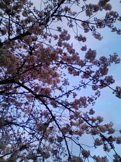 駅前の満開の桜