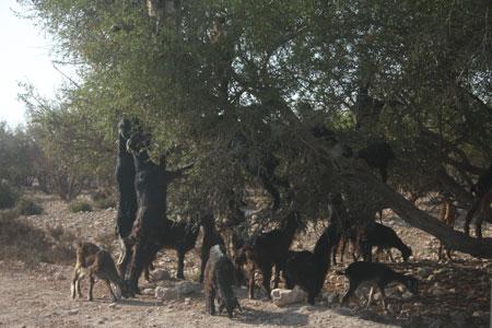 アルガンオイルの木の実を食べる羊たち