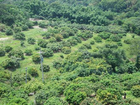 ライチ農園全景