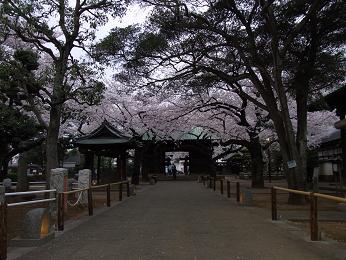 祐天寺の桜2