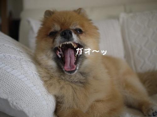 ガオ~ッ110608