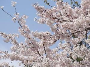 どこでも見守ってくれてる桜