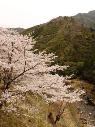 20100328桜ー2