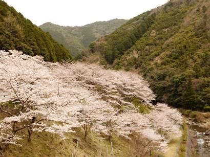 20100328桜ー1