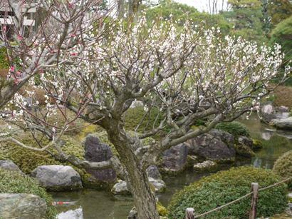 休憩所の庭の梅