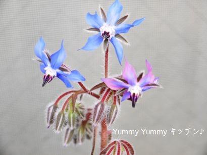 ボリジの花♪