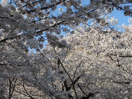 鶴舞の桜4.7