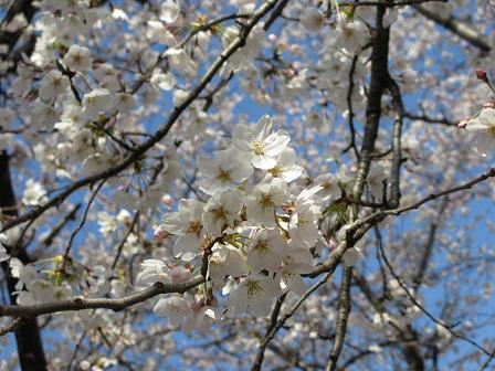 桜満開4.8