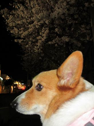 夜桜とプー4.9