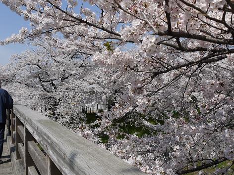 橋にかかる桜4.10