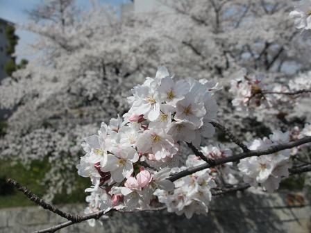 桜満開4.10