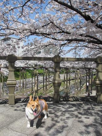 山崎川の桜とプー4.10