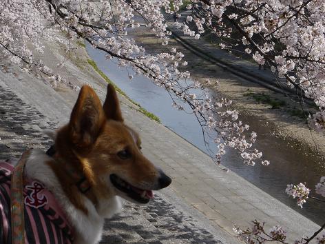 川沿いの桜4.10