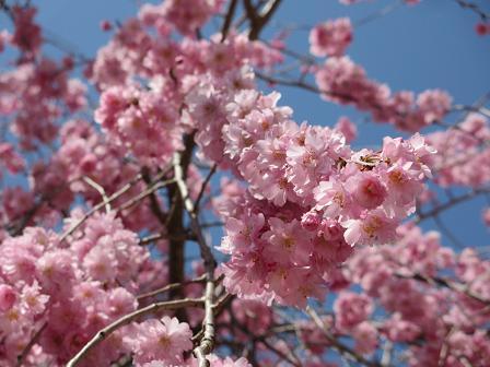 枝垂れ桜4.12