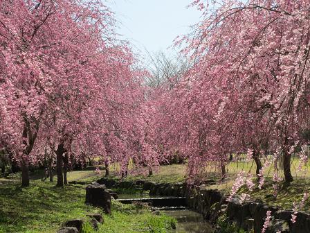 枝垂れ桜も満開4.12