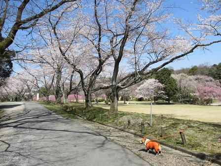 ソメイヨシノと枝垂れ桜4.12