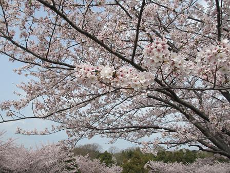 大高の桜4.13