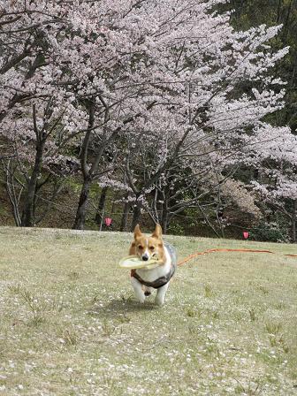 日進の桜4.15