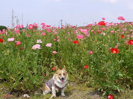 ヒナゲシの花に囲まれて5.18