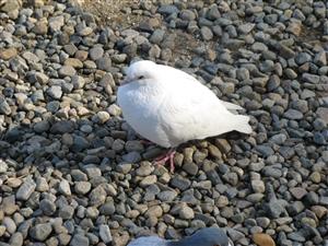 幸せの白い鳩?