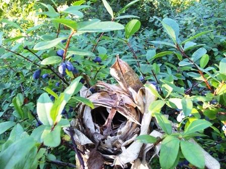 ハスカップの木に鳥の巣