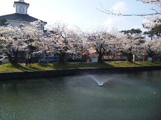 鶴岡公園のさくら